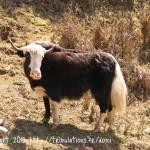 Quelques rencontres sur la route de Tronsga à Punakh