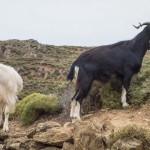 chèvres perchées à flanc de falaise