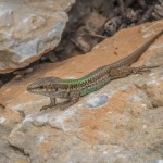 Des lézards verts par dizaines qui détalent sur les rochers à notre approche