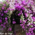 Bougainvillée en fleurs