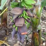 Banane en pousse