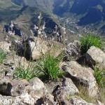 Asphodèles devant la vallée