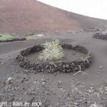 Plantation de figuiers dans la lave