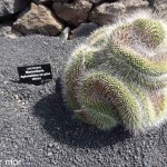Cactaceae Mammillairia Apinossima un pico