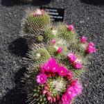 cactus lemmillaria