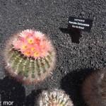 Cactus Parodia Oxicostata
