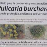 espèce protégée de fuertéventura