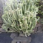 Euphorbia lactéa Compacta