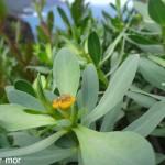 première fleur d'euphorbe