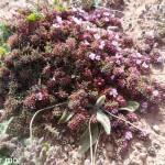 rares fleurs de Lanzarotte