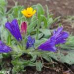 vulgarus fleurus