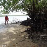 La mangrove, sa vase et ses moustiques