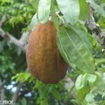 Cabosse de cacao rivière