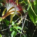 Fleur de cacaoyer rivière
