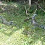 Iguanes verts