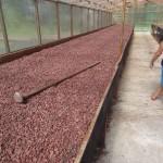 Grains de cacao au séchage