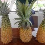 Ananas classique, entouré d'ananas bouteille
