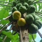 Papayes vertes en légumes, mûrs en fruit