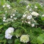 hortensias et mûriers